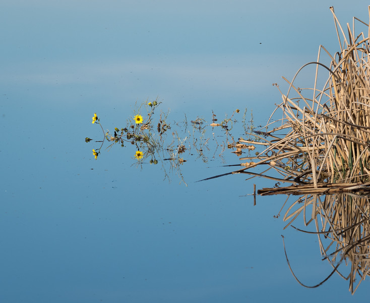 Yellow Flowers and Reeds in Wetlands