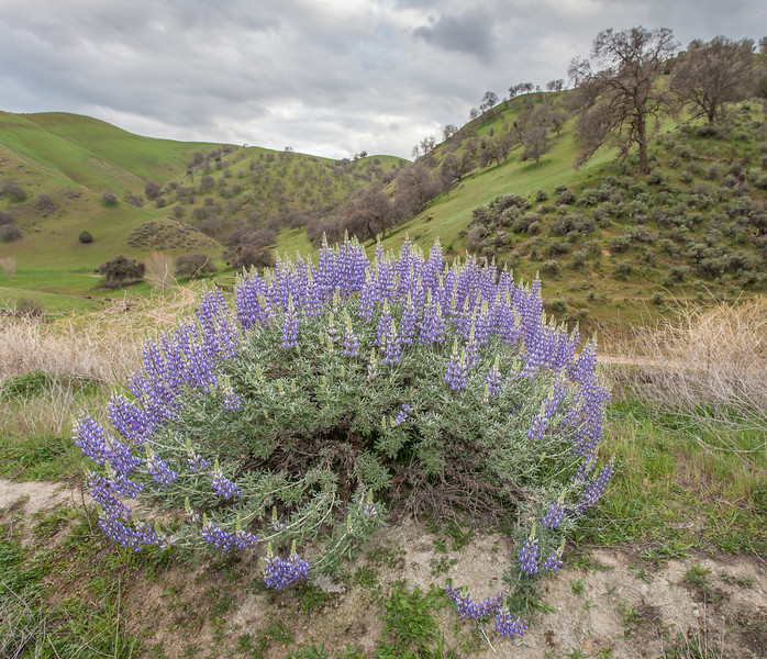 Lupines and Rolling Hills, Near Patterson CA