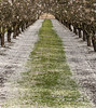 Row of Almond(?) Trees and Blossom Carpet