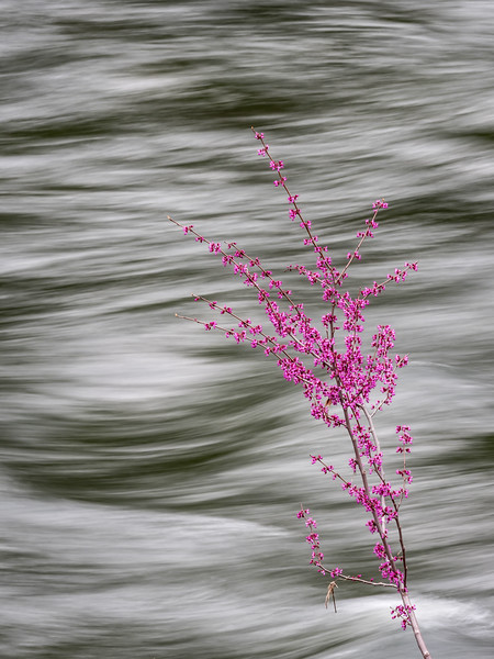Blossoming Western Redbud Against Merced River