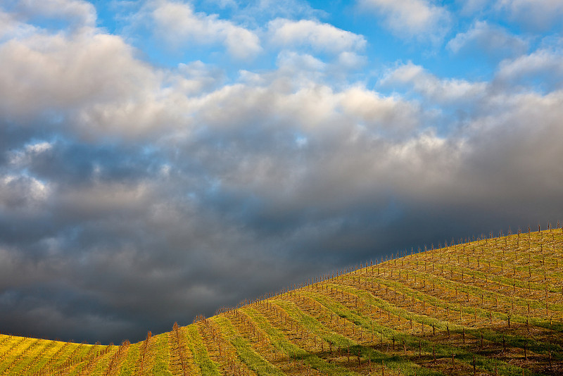 Late Afternoon Light on New Vineyards, Near Paso Robles CA