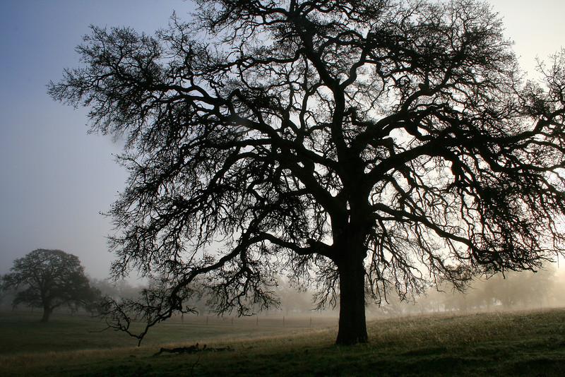 Backlit Oak in Morning Light, Highway 88, CA
