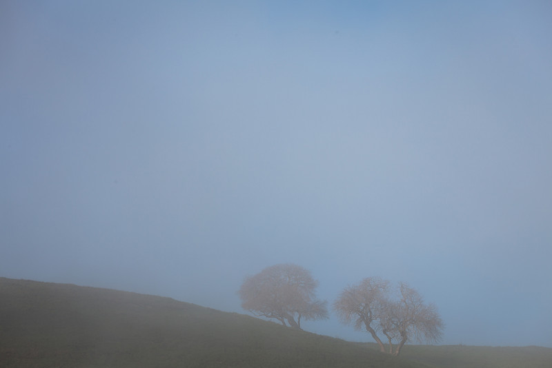 Two Oaks Bathed in Fog, Highway 26, CA