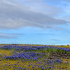 Purple Lupine and Clouds