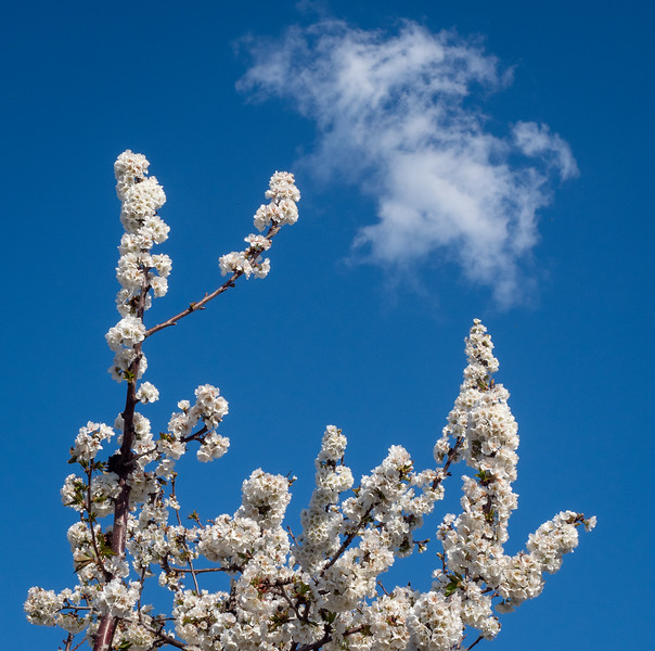 Spring Blossoms and Passing Cloud