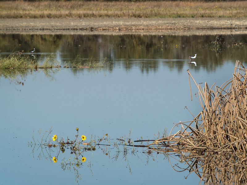 Yellow Flowers, Reeds, and Waterfowl
