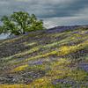 Wildflowers, Volcanic Rock, Oak Tree, and Heavy Sky