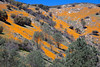 Hills of California Golden Poppies, Mariposa County CA