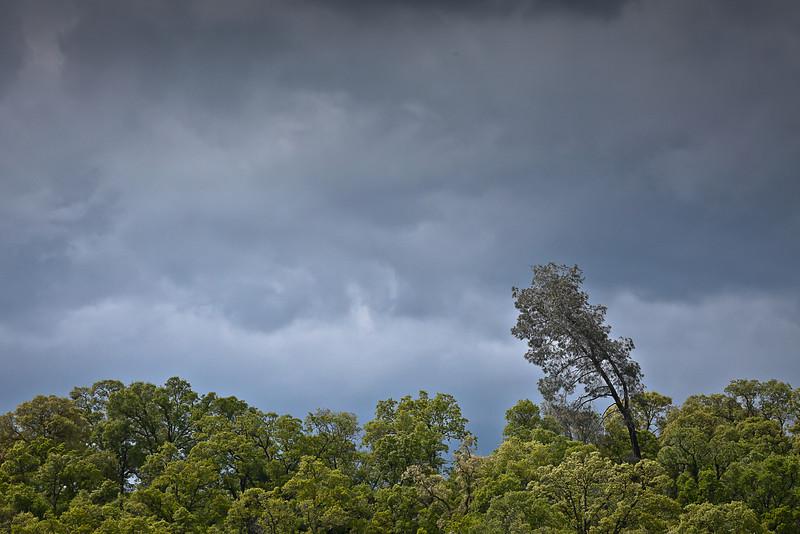 Dead Pine and Stormy Sky, El Dorado County CA