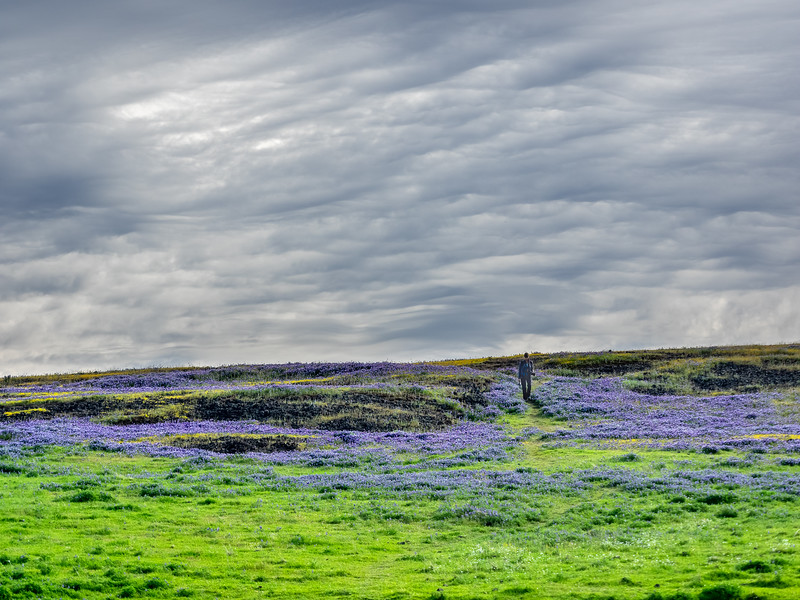 Photographer Amidst Purple Lupine and Spring Green Grass