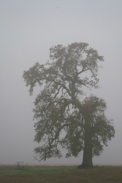 Leaning Oak Tree in Fog, Near Highway 88, CA