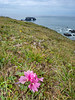 Pink Wildflowers with Arch Rock in Background