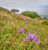 Wild Irises Growing Along Coastline