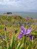Wild Irises along Coast