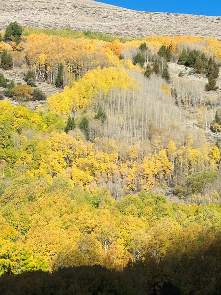 Vertical View of Autumn Aspens, June Lake Loop CA