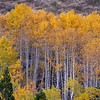 Autumn Aspen Stand Mixed with Conifers