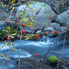 Late Season Berries with Rush Creek in the Background