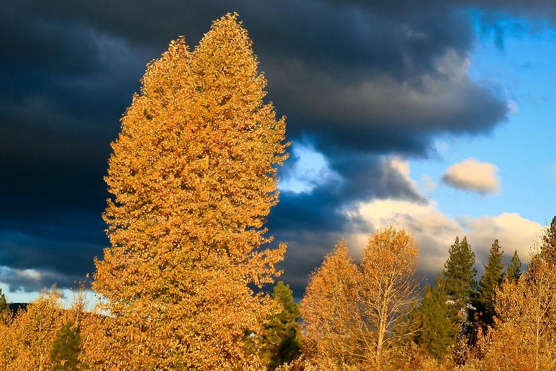 Cottonwoods in Fall Drama, Graeagle CA