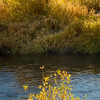 Fall-Colored Willows on Banks of Middle Fork Feather River