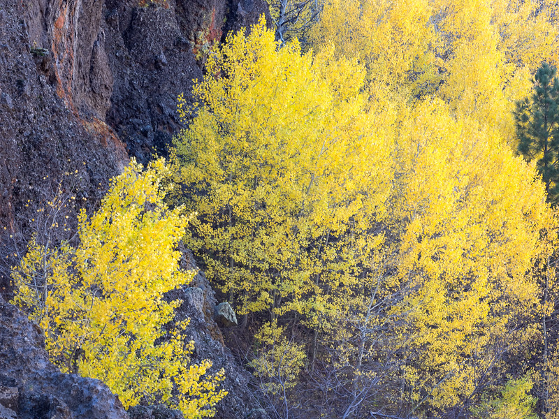 Fall Aspens and Dark Limestone Cliffs