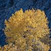 Autumn Cottonwood against Black Rocks