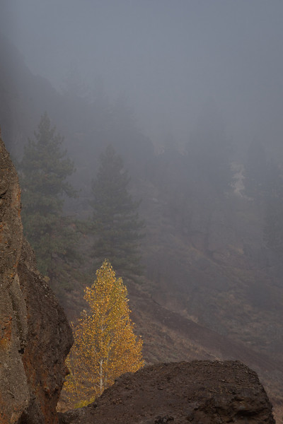 Yellow Cottonwood Amidst Fog and Rocks, Near Chilcoot CA