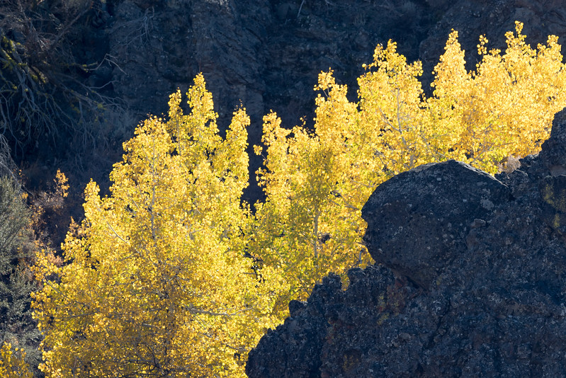 Backlit Aspens in Frenchman's Canyon