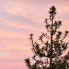 Pine Tree and Bands of Sunset-Infused Clouds