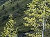 Backlit Spring Aspens