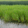 Abstract Wetlands Scene with Reeds and Grasses