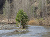 Leaning Pine Tree in High Water