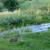 Deer Bounding near Middle Fork Feather River