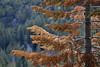 Dead Pine, Plumas National Forest, CA