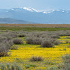 Yellow Wildflowers and Snowcapped Mountains