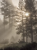 Backlit Pine Forest in Early Morning