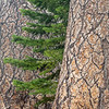 Pine Bark and Branch Tips