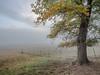Oak Tree in Foggy Valley, Quincy CA