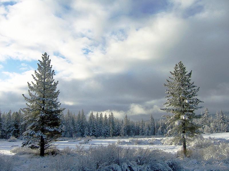 Fresh Snow on Trees, Blairsden CA