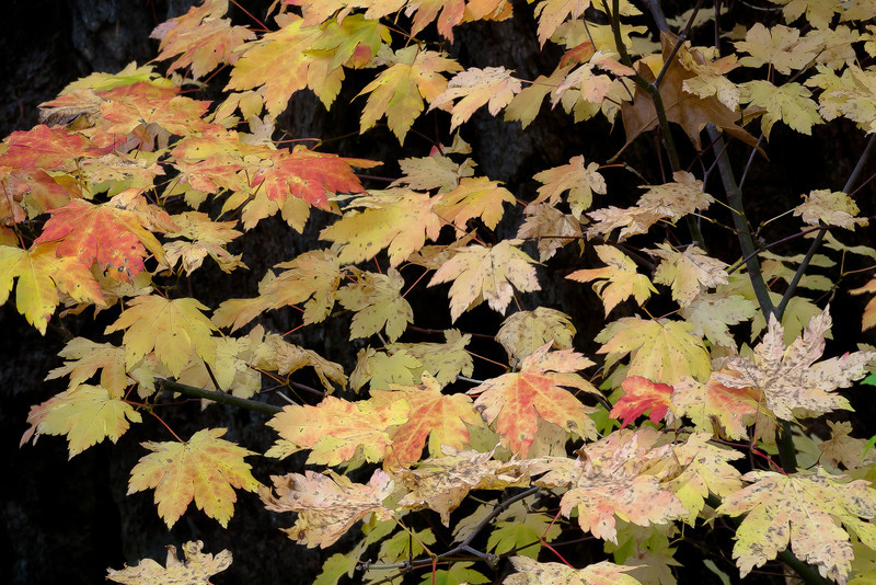 Autumn Maple Leaves, Near McCloud River, CA