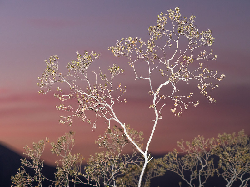 Lighted Tree at Dusk, Anza Borrego Sate Park, CA