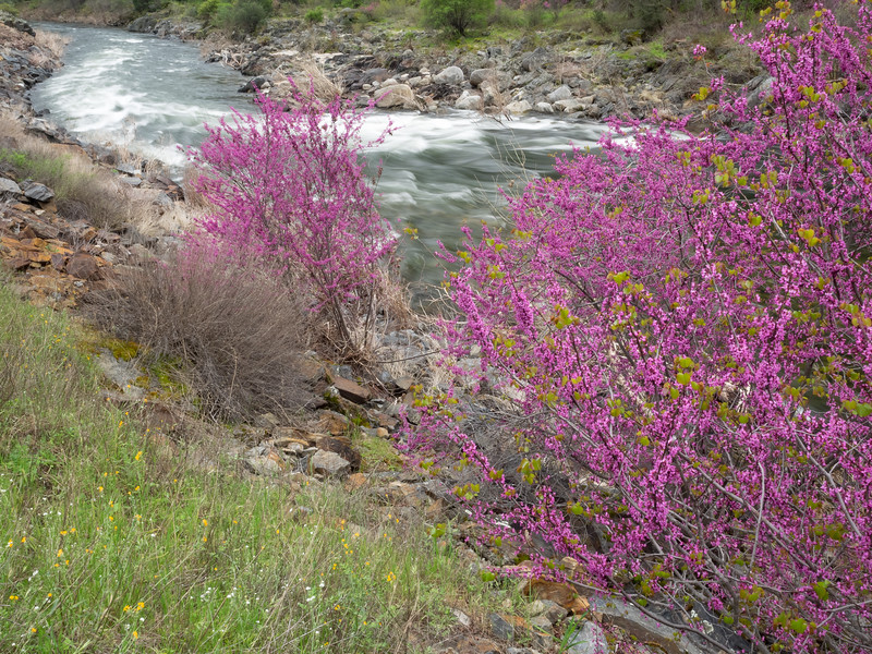 Blossoming Western Redbuds Along Banks of Merced River
