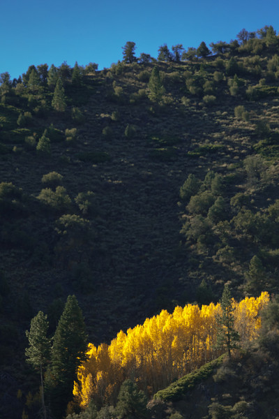Lighted Aspens on Hillside, Hope Valley CA