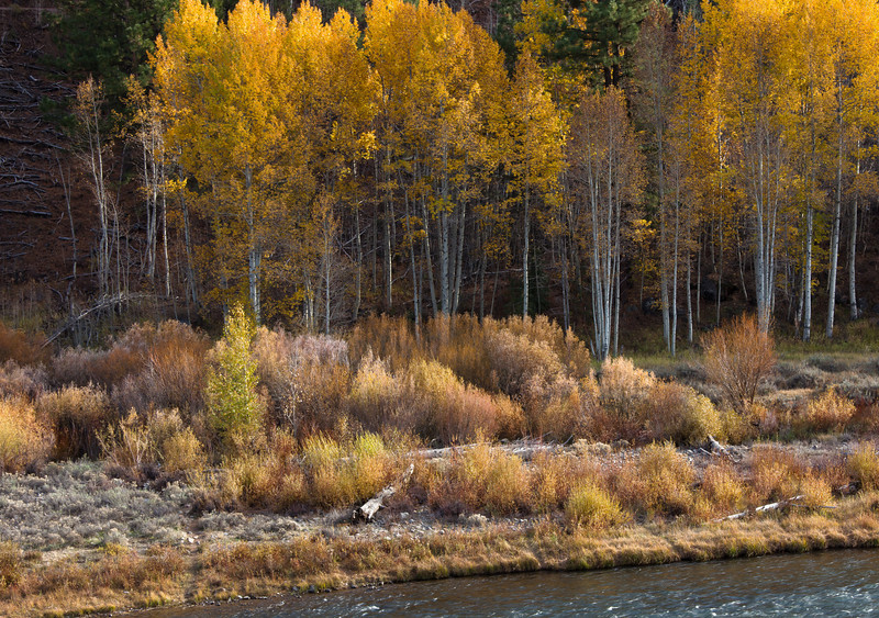 Fall Aspens on Truckee River, Near Truckee CA