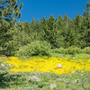 Yellow Patch of Wildflowers