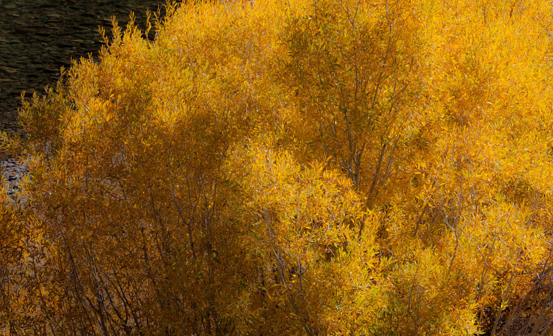 Willow Bushes in Autumn along Carson River, Near Markleeville CA