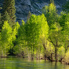 Spring-Green Cottonwoods and Alders Reflecting in the Merced River