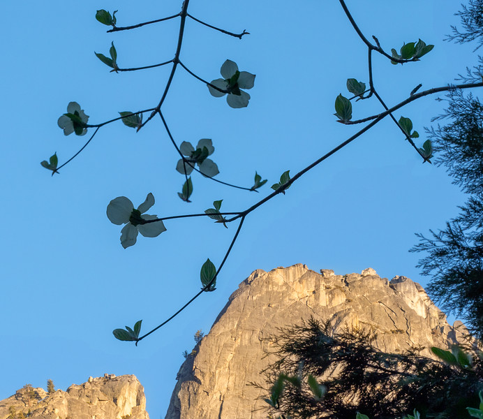 Underside of Dogwood Blossoms and Granite