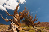 Ancient Bristle Cone Pine Forest - Schulman Grove