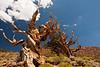 Ancient Bristle Cone Pine Forest - Schulman Grove