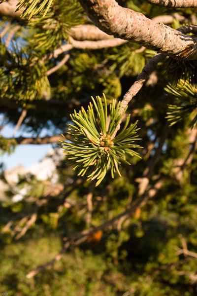 Random pine tree at Minaret Vista